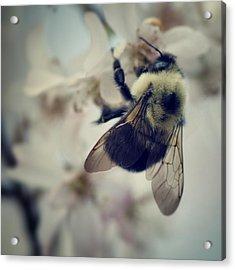Bee Acrylic Print by Sarah Coppola