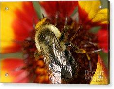 Bee Six - Acrylic Print by Silvana Siudut