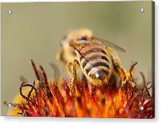 Bee Three Acrylic Print by Silvana Siudut