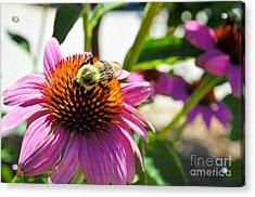 Bee-utiful Acrylic Print by Maureen Norcross