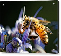 Bee Visits Rosemary  Acrylic Print