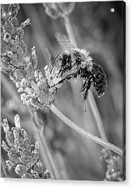 Acrylic Print featuring the photograph Bee Works Lavender by Len Romanick