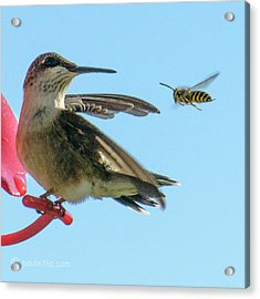 Bee_bird Acrylic Print