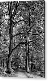 Beech Forest - 365-222 Acrylic Print