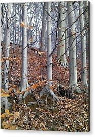Beech Trees Acrylic Print