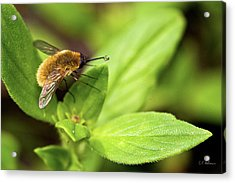 Beefly Acrylic Print by Christopher Holmes