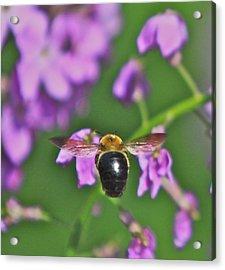 Beehind Acrylic Print by Robert Pearson