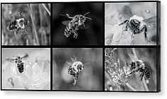 Acrylic Print featuring the photograph Bees In Flight In Black And White by Len Romanick