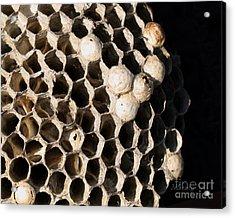 Bee's Nest Acrylic Print