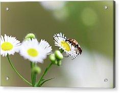 Beetle Daisy Acrylic Print