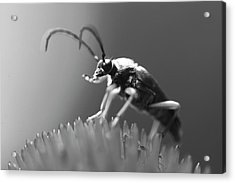 Beetle In Black And White Acrylic Print