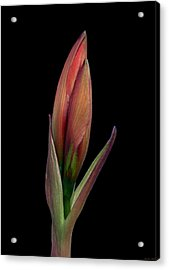 Before I Awake Acrylic Print by Evelyn Patrick