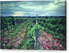 Before The Harvesting Acrylic Print
