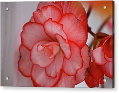 Acrylic Print featuring the photograph Begonia Beauty by Lora Lee Chapman