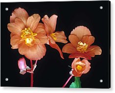 Begonia Buddies Acrylic Print by Laurie Paci