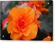 Begonia Sunrise Acrylic Print