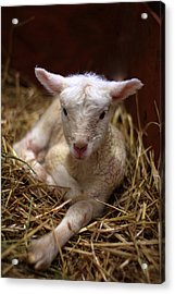 Behold The Lamb Acrylic Print by Linda Mishler