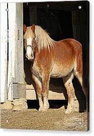 Belgian Draft Horse Acrylic Print by Steve Gass