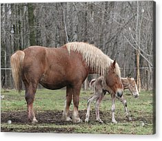 Belgian Foal First Steps Acrylic Print by Laurie With