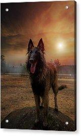 Belgian Shepherd Acrylic Print by Rose-Marie Karlsen