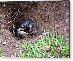 Belize Crab Acrylic Print