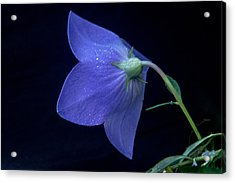 Bell Flower From Behind Acrylic Print by Douglas Barnett