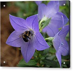 Acrylic Print featuring the photograph Bellflower And Bee  by Marie Hicks
