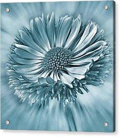 Bellis In Cyan  #flower #flowers Acrylic Print by John Edwards