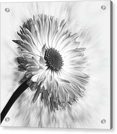 Bellis In Mono  #flower #flowers Acrylic Print by John Edwards