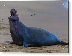 Bellowing Bull Elephant Seal Acrylic Print by Garry Gay