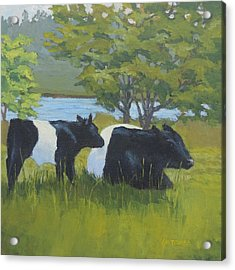 Belted Galloway And Calf Acrylic Print