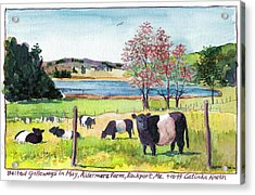 Belted Galloway Art  Maine Cows In May Acrylic Print by Catinka Knoth