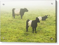 Belted Galloway Cows Grazing  In Foggy Farm Field Maine Acrylic Print by Keith Webber Jr