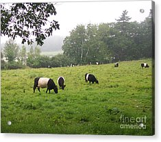 Belted Galloways 2 Acrylic Print