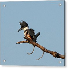 Belted Kingfisher  Acrylic Print by Barbara Bowen