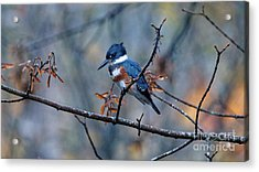 Belted Kingfisher Perch Acrylic Print