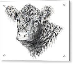 Beltie Acrylic Print by Sandra Moore