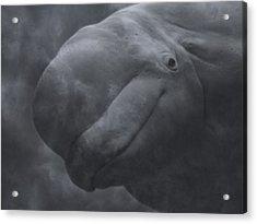 Beluga Face To Face Acrylic Print by Betsy Knapp