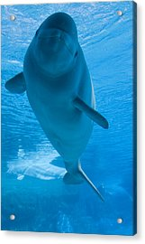 Beluga Whale In A Marine Park, Ontario Acrylic Print by Darwin Wiggett