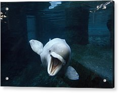 Beluga Whale Swimming With An Open Acrylic Print by Paul Sutherland