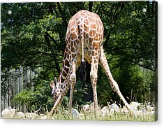 Bend And Stretch  Acrylic Print by A New Focus Photography