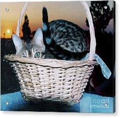 Acrylic Print featuring the photograph Bengal Cat At Sunset by Phyllis Kaltenbach