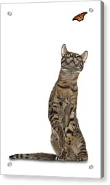 Bengal Cat With Butterfly Acrylic Print