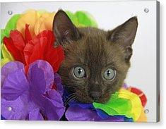 Bengal Colors Acrylic Print