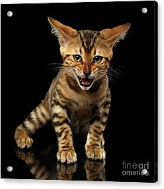 Bengal Kitty Stands And Hissing On Black Acrylic Print by Sergey Taran