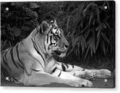 Bengal Tiger Acrylic Print by Sonja Anderson