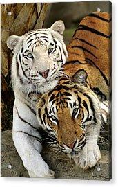 Bengal Tigers At Play Acrylic Print