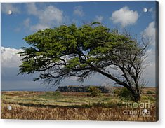 Bent Tree Acrylic Print