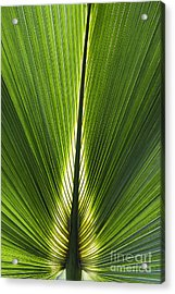 Bermuda Palmetto Palm Leaf Acrylic Print by Tim Gainey