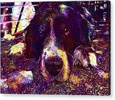 Berner Sennen Dog Lazy Summer Relax  Acrylic Print